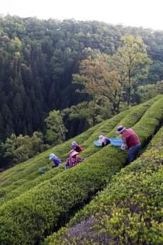 Recolección de té en Corea del Sur