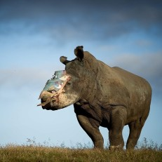 Hope, a four-year old female rhino who survived a poaching attack recovers in Shamwari Game Reserve in the Eastern Cape, South Africa, May 26th 2015. Poachers tranquillised Hope, hacked off her horn and left her for dead. Major surgery by a specialist veterinary team took place to fit the protective plate that covers the wound. Hope is being cared for by Saving the Survivors, an organisation which works specifically to save rhinos. South Africa has seen three of the worst years on record for rhino poaching. In 2012 poachers killed 668 rhinos, last year this increased to 1215. It is expected that this number will be exceeded in 2015. Credit: EPA