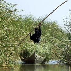 An Iraqi woman collects grass in the Chibayish marshes near the Iraqi city of Nasiriyah on June 25th 2015. Marsh areas in southern Iraq have been affected since the Islamic State group started closing the gates of a dam on the Euphrates River in the central city of Ramadi, which is under the jihadist group's control. Credit: AFP