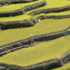 The rice crop is ripe and ready for harvesting at Banaue Rice Terraces, Ifugao, northern Philippines on June 19th 2015. From next month the government will allow private traders to apply to import up to 805,200 tones of rice this year, as it seeks to increase local stocks in order to avoid potential price spikes later in the year if the dry weather intensifies. Credit: Reuters