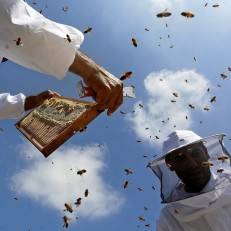 Beekeepers inspect hives at a honey bee farm near the West Bank city of Jenin on June 15th 2015. Beekeepers collect honey and wax from the beehives at this time of year. Credit: EPA