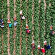 Harvesters pick strawberries near the Upper Palatinate district of Regensburg, Germany, June 22nd 2015. Credit: EPA