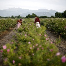 Workers gather rose petals on a rose field near the village of Pevtsite, Bulgaria on May 22nd 2015. Bulgaria is one of the world's leading producers of rose oil which is a key ingredient in perfumes. Credit: Reuters