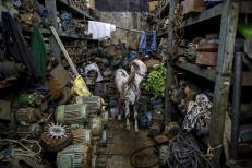 A goat eats leaves inside a motor pump workshop in Mumbai, India, June 24, 2015. REUTERS/Danish Siddiqui