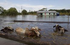 Cattle are seen in a street flooded by the rising Rio Solimoes, one of the two main branches of the Amazon River, in Anama, Amazonas state, Brazil May 28, 2015. According to the state Civil Defense, more than 237,615 people were affected in the State with strong rains. Picture taken on May 28, 2015. REUTERS/Bruno Kelly