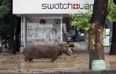 A hippopotamus walks across flooded street in Tbilisi, Georgia, June 14, 2015. At least five people died and several are missing as a result of heavy rainfall and floods overnight in the Georgian capital Tbilisi, Georgian news agencies reported on Sunday. Animals from the city's zoo including tigers, lions, bears and wolves escaped from cages damaged by the rainfall. Some were captured or killed while the search for others goes on. REUTERS/Beso Gulashvili