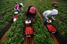"""In the last few months, anger over conditions faced by fruit pickers, which even some conservative Mexican media have characterised as """"near slavery"""", has boiled over. On March 18, more than 200 protesting workers on the peninsula were arrested in a clash with local authorities."""